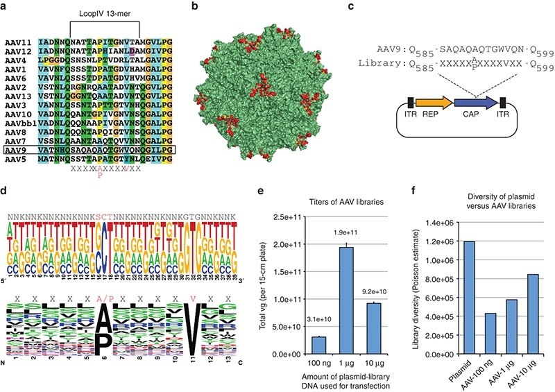 Adeno-associated-virus-AAV-library-generation-and-diversity-a-Amino-acid